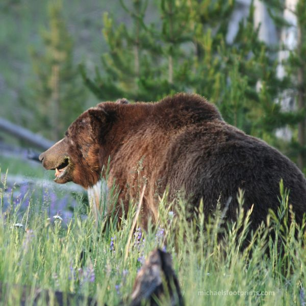michaelsfootprints Michael's Footpints yellowstone grizzly